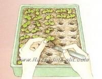 Размножаване на Годжи Бери Goji Berry